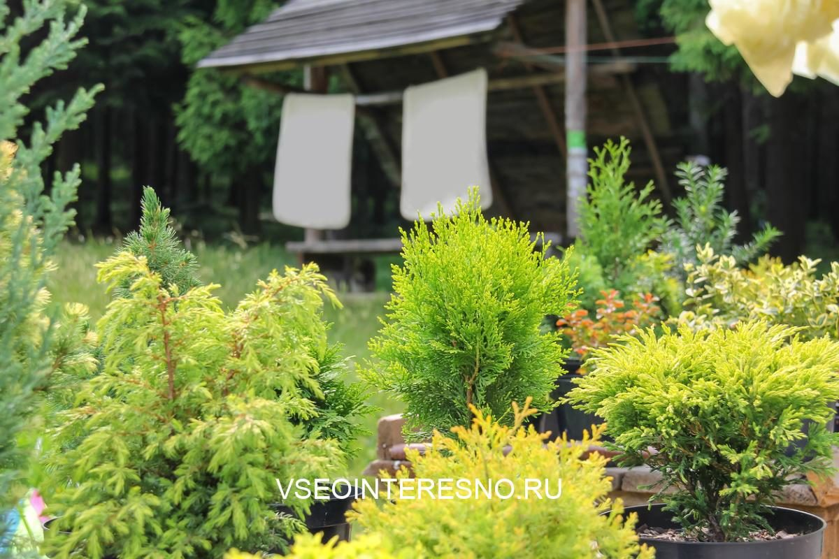 coniferous-plants-in-pots-on-background-of-old-wooden-garden-house