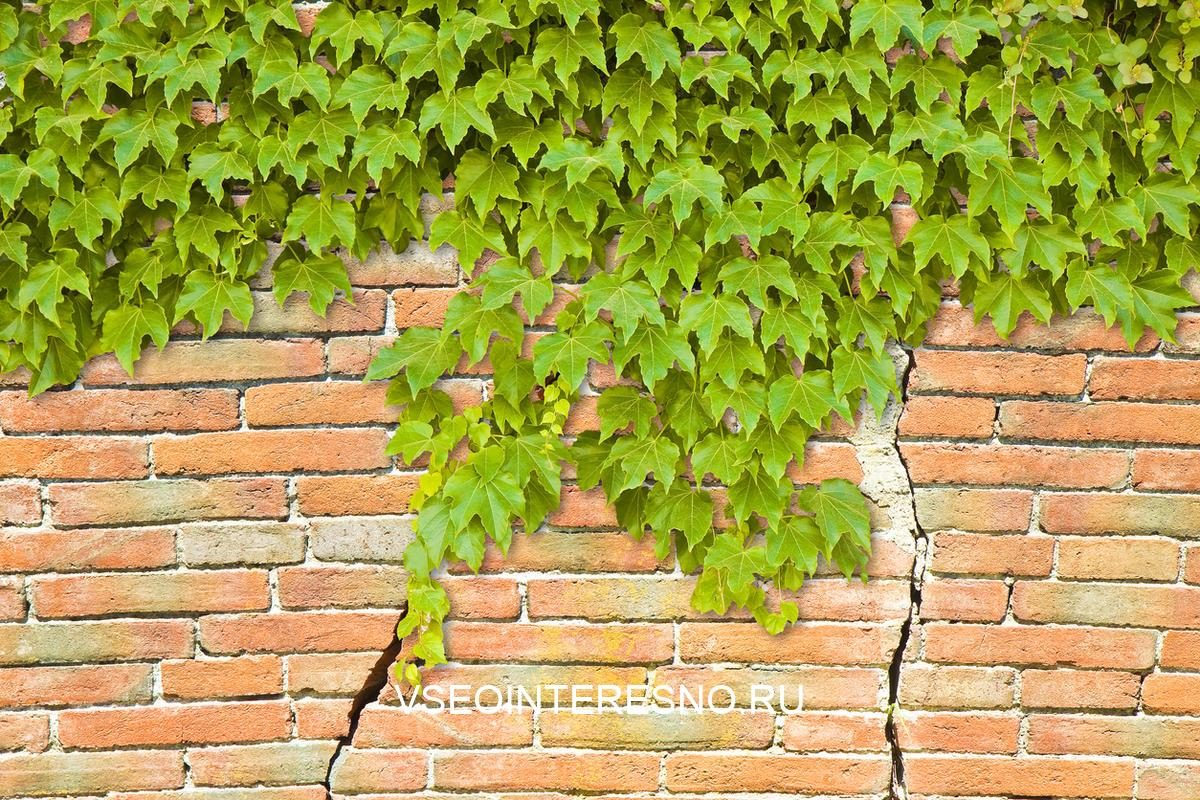 cracked-brick-wall-with-climbing-ivy
