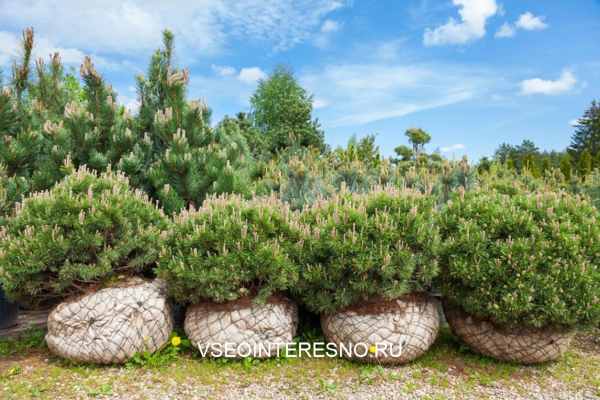 pine-on-tree-nursery-farm