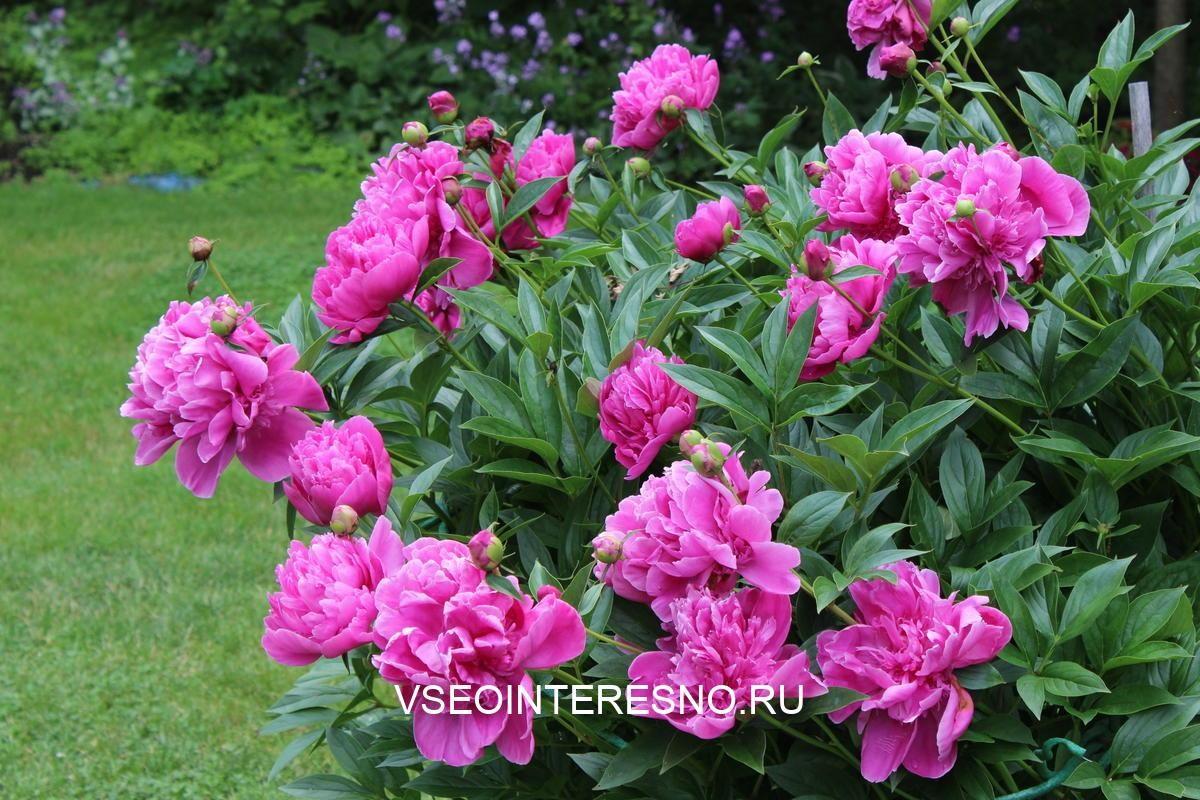 peony-bush-laden-with-pink-flowers-in-garden