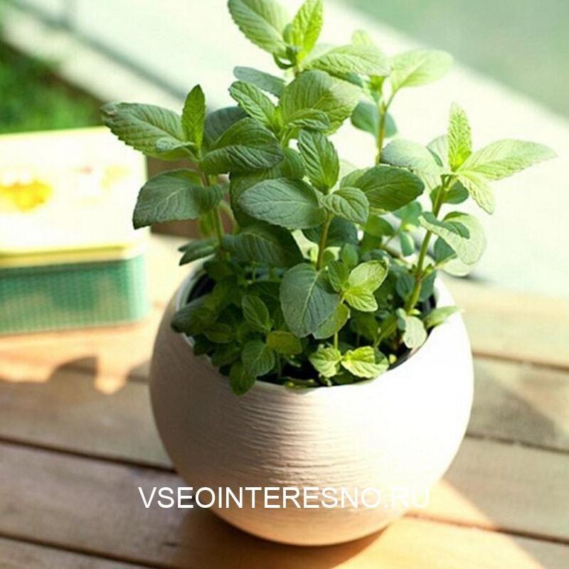 30seed-bag-mentha-citrata-seed-lemon-mint-seed-lemon-balm-house-font-b-plant-b-font-1-3167186