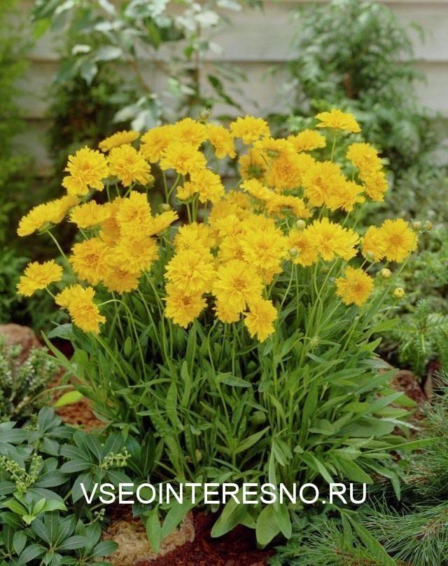 coreopsis-grandiflora-640x807-1-4052640