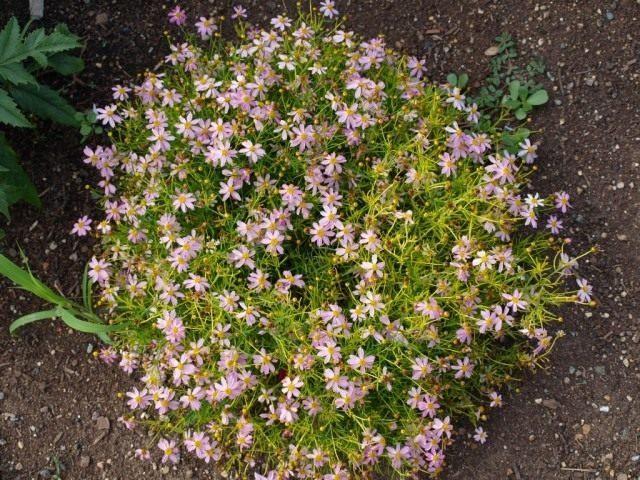 coreopsis-rosea-640x480-1-3709523