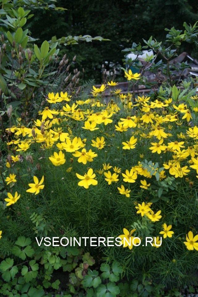 coreopsis-verticillata-640x957-1-4520479