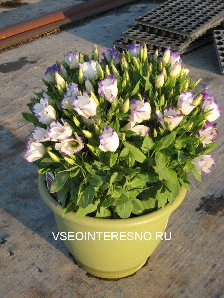eustoma_04-6471792