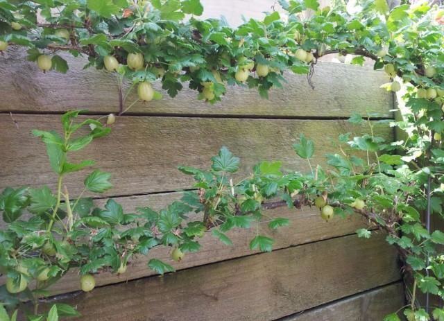 gooseberry-bush-2-640x463-1-4973344