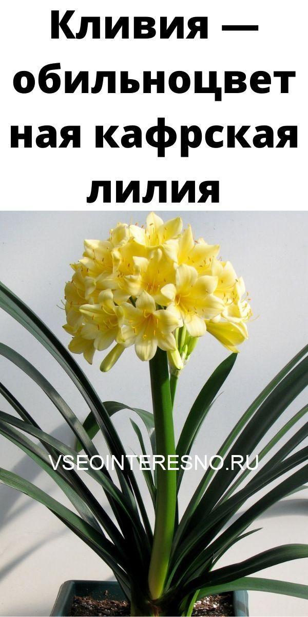 kliviya-obilnotsvetnaya-kafrskaya-liliya-3124849
