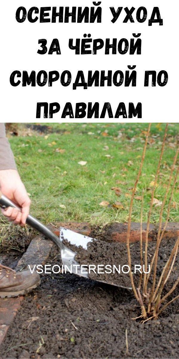 osenniy-uhod-za-chyornoy-smorodinoy-po-pravilam-1-8530062