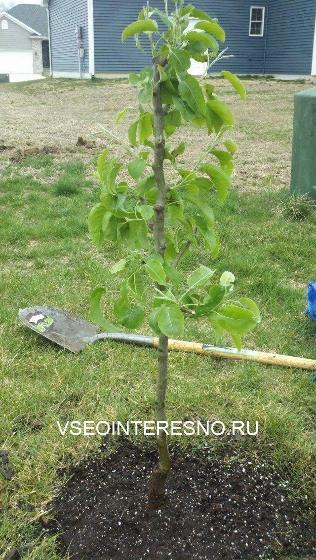 pear-tree-01-640x1135-1-2192041