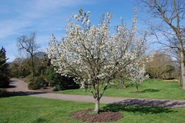pear-tree-11-640x425-1-9119705