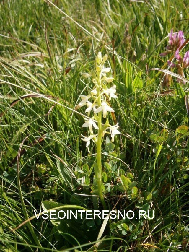 plantanthera-bifolia-1-640x853-1-8273681
