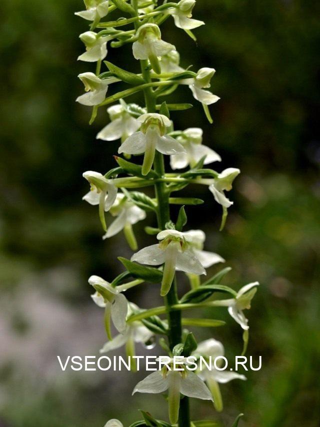 platanthera-chlorantha-1-640x854-1-6695042