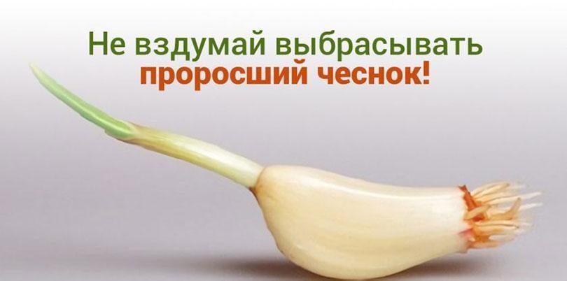 polza-prorosshego-chesnoka-etomu-sredstvu-net-tseny-3881698