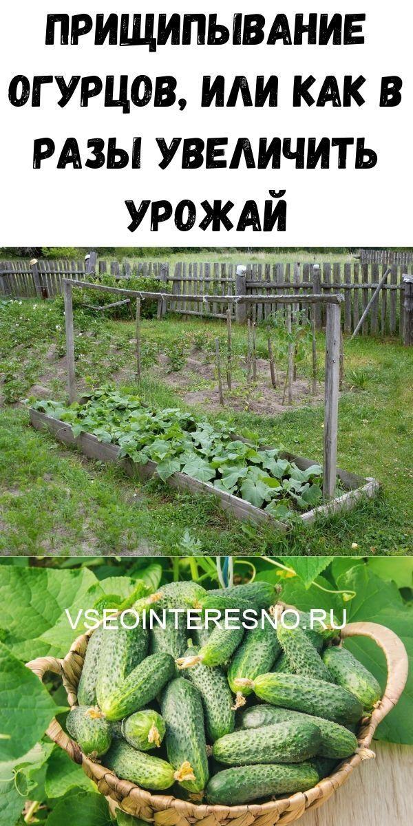 prischipyvanie-ogurtsov-ili-kak-v-razy-uvelichit-urozhay-4329943