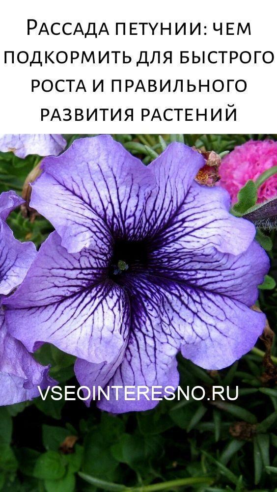 rassada-petunii_-chem-podkormit-dlya-bystrogo-rosta-i-pravilnogo-razvitiya-rastenij-7690482