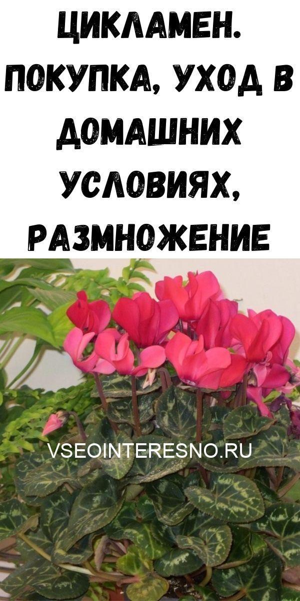 tsiklamen-pokupka-uhod-v-domashnih-usloviyah-razmnozhenie-9904522