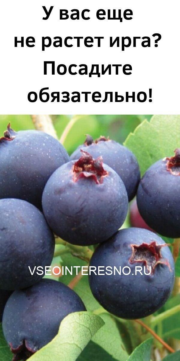 u-vas-esche-ne-rastet-irga_-posadite-obyazatelno-6010419